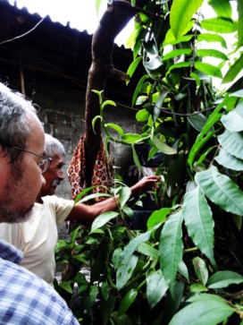 Language consultant Longino Barragán shows Professor David Beck how to identify the vanilla plant.
