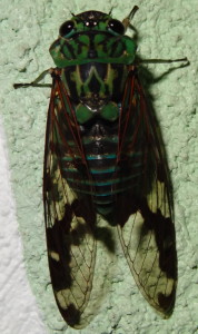 Totonac: chiní:ni' Latin: Family Cicadidae English: type of green cicada Spanish: especie de chicharra verde.