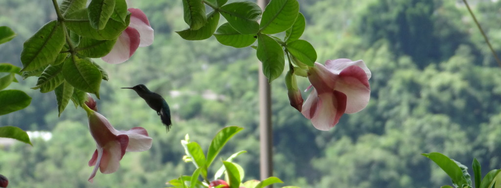 Totonac: ju:n Latin: Trochilidae English: Hummingbird Spanish: colibrí, chuparosas