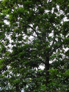 mamey_tree